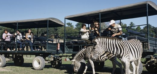 safari_zebras